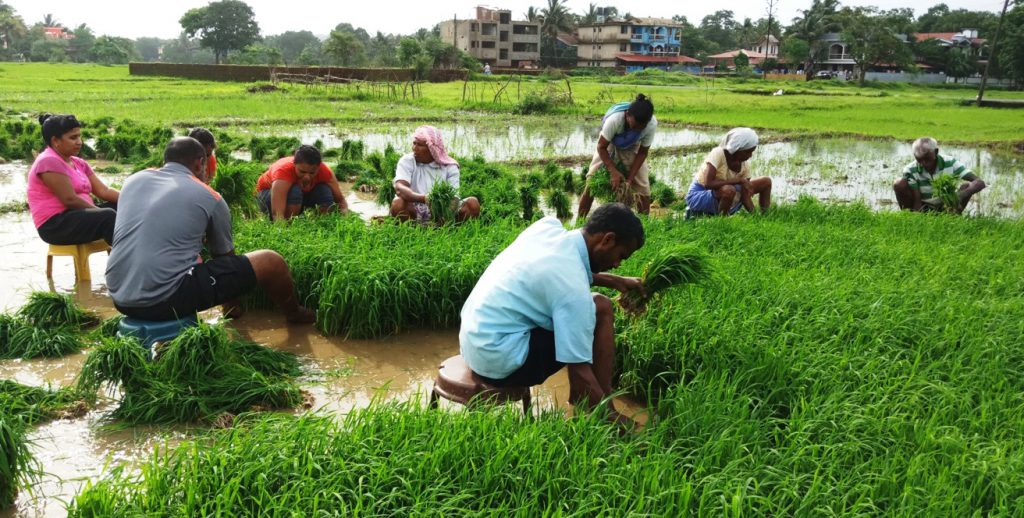 Villagers Uprooting Paddy Saplings for Replantation