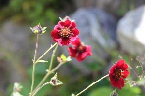 Nice Red Flower at the Valley