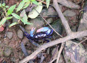 Purple Crab