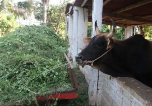 Cow and its Huge Fodder Pile