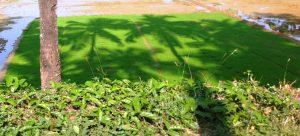 Coconut Tree Shadow on Paddy Nursery