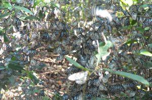 Congregation of Butterflies at a Hill