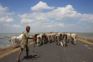 Man with his Herd of Cows in Kutchh